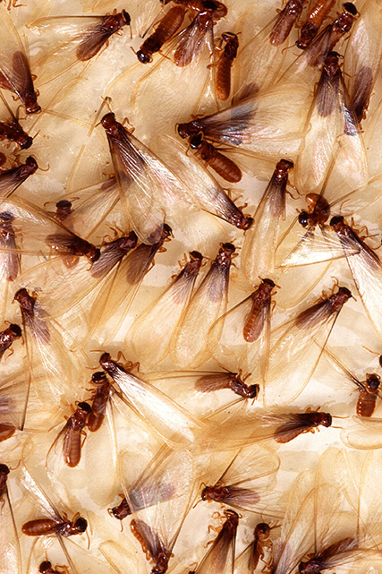 Formosan-Termites-Dallas-Texas